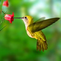 hummingbird_200x200